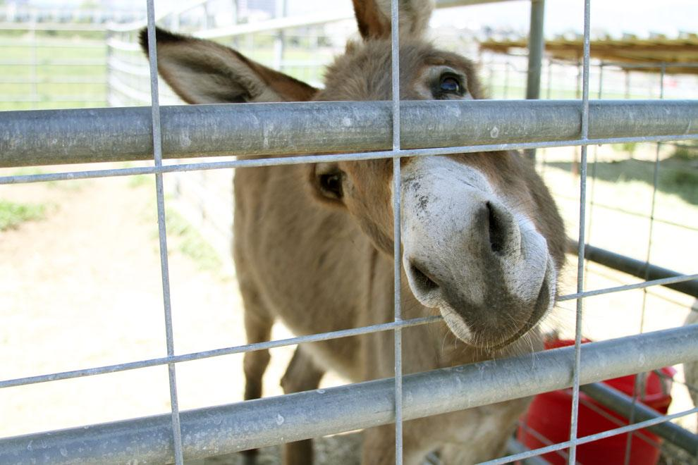 A donkey sticks his nose out of a hole in the fence at the Pierce College animal farm. Located towards the back end of the farm are some sheep and a donkey. Photo credit: Tessie Navarro / Multimedia Editor