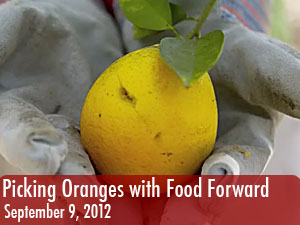 Picking oranges with Food Forward