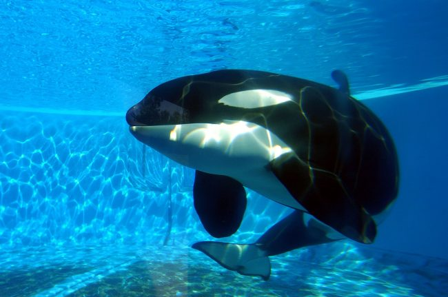 Orcas do not deserve to be canned like sardines