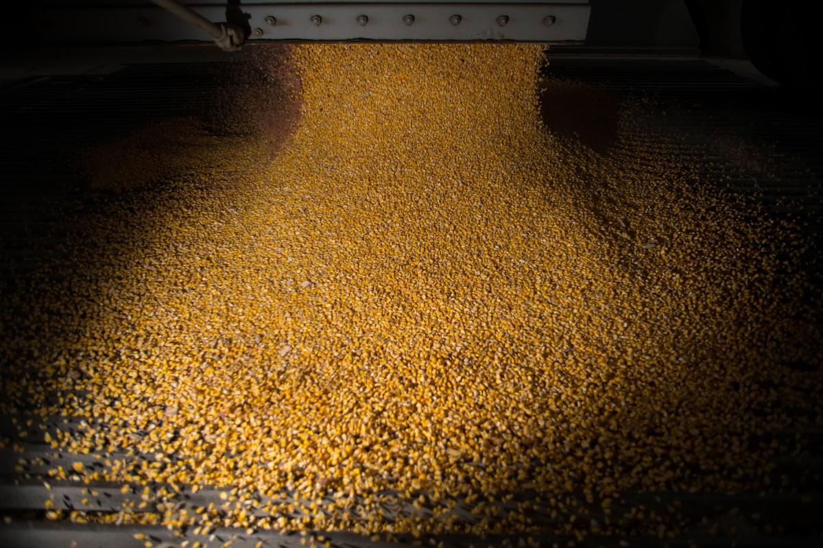 Corn tumbles from the hopper of a truck at the CHS grain terminal on the Minnesota River in Savage, Minn., about to begin a journey around the world. (Aaron Lavinsky/Minneapolis Star Tribune/TNS)