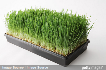 Fitness Friday: Making life last with the help of wheat grass
