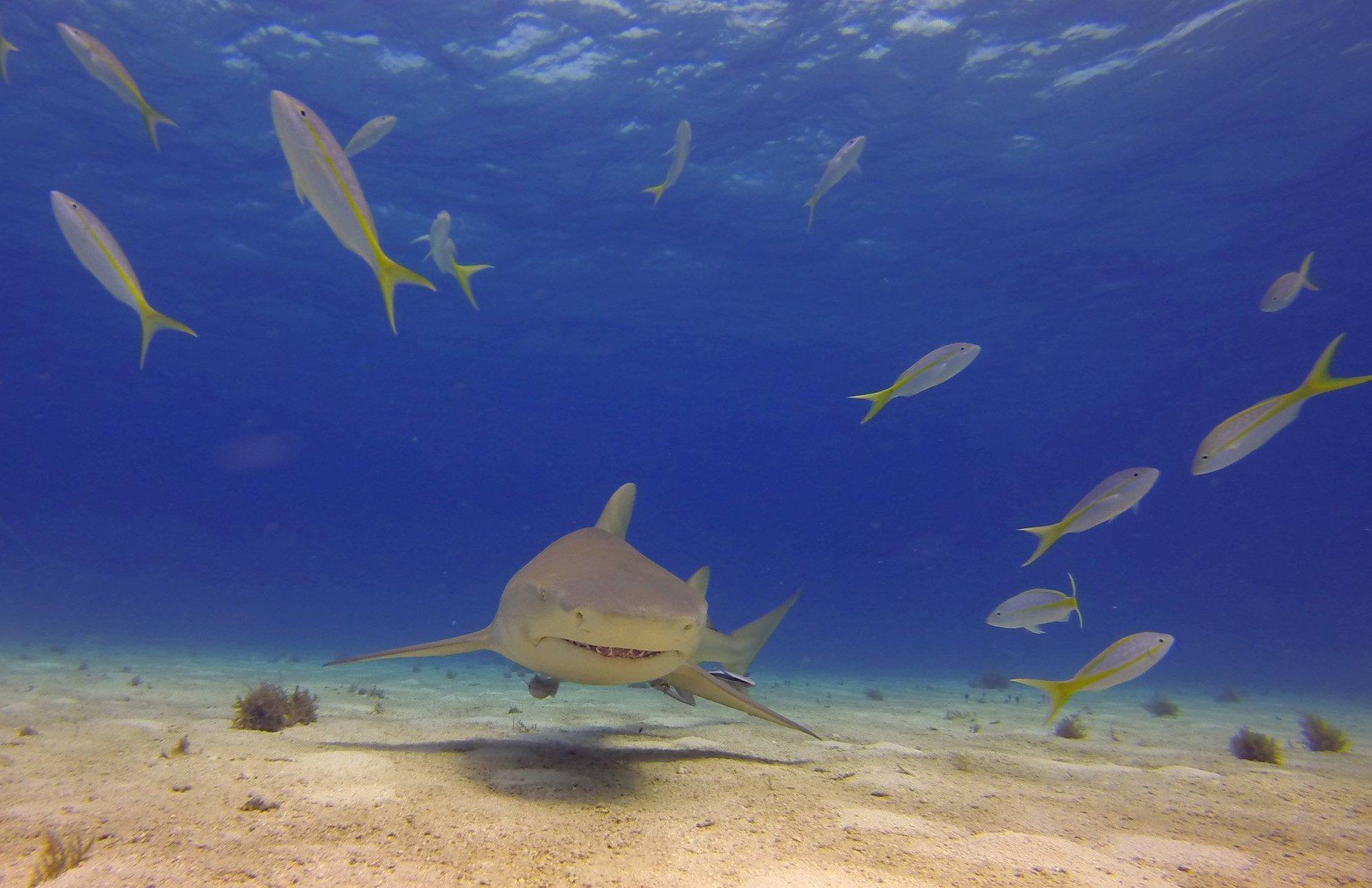 With+a+yellowtail+snapper+dodging+in+front%2C+a+lemon+shark+cruises.+%28Ken+Riddick%2FCharlotte+Observer%2FMCT%29.+Photo+Courtesy+of+MCT