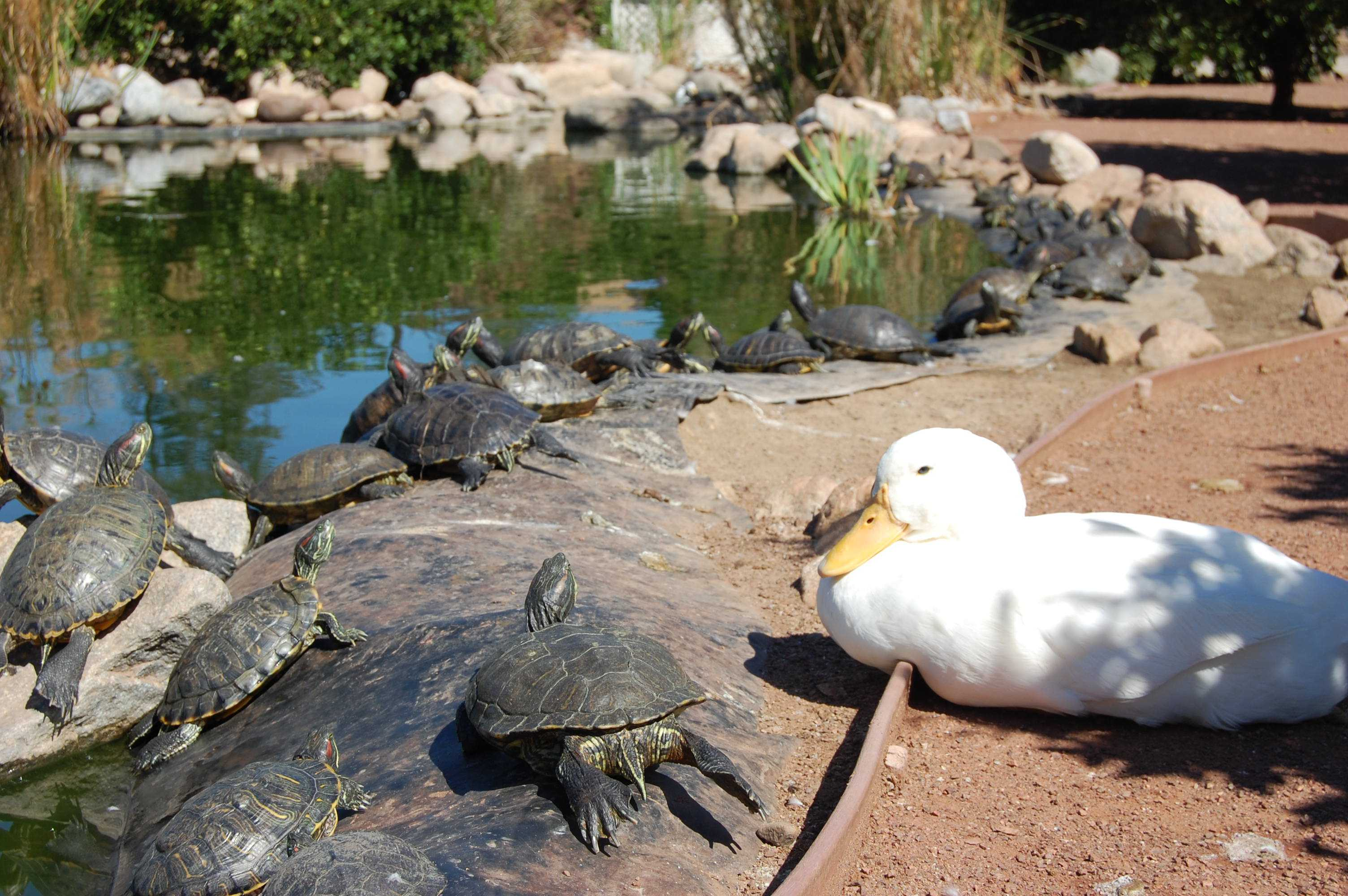 CSUN's pond holds a capacity to hold about 40-50 turtles. About 400-500 red slider turtles live in CSUN's pond according to biology students.