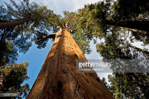 California Sequoia by Christian Heinrich (Getty Images)