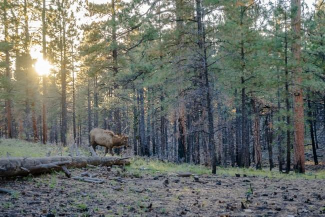 Walking with the Elk