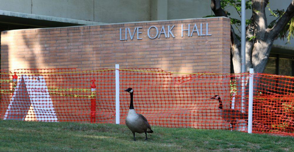 Geese pictured in front of Live Oak Hall