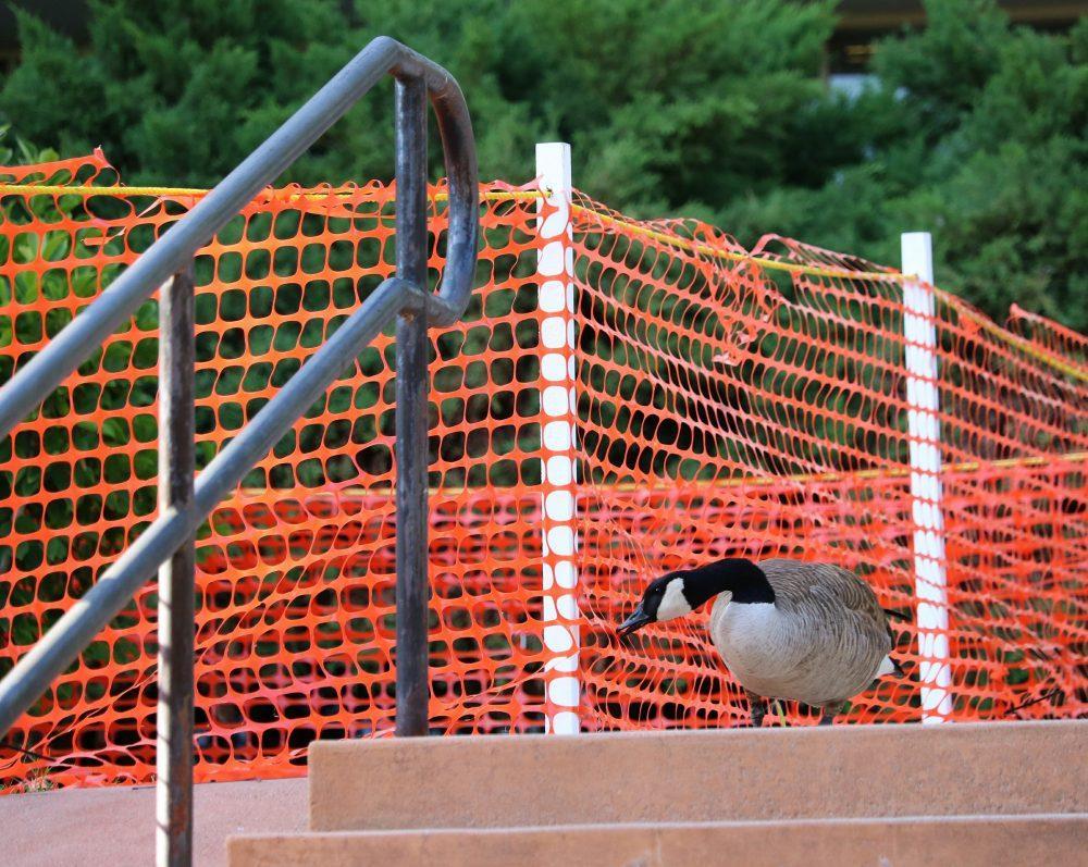 Goose pecks at orange barriers