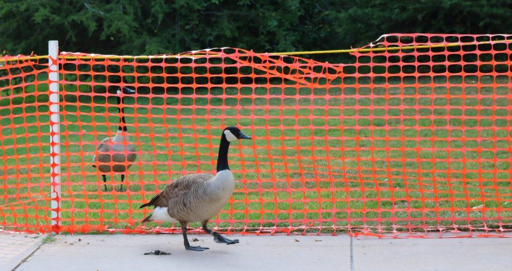 Geese are separated by orange barrier