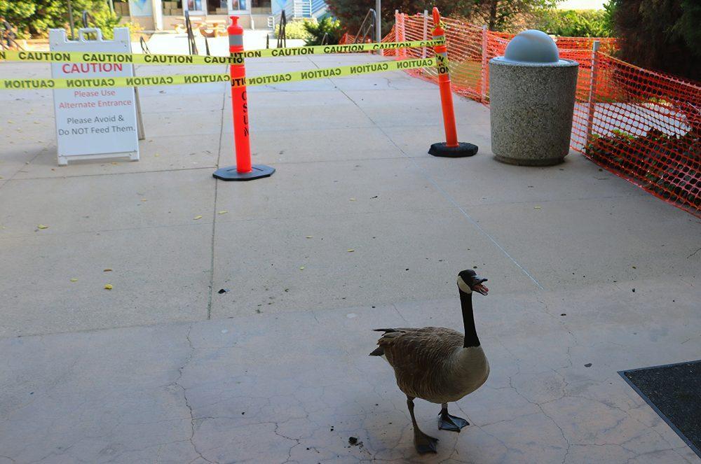 Goose pictured at CSUN