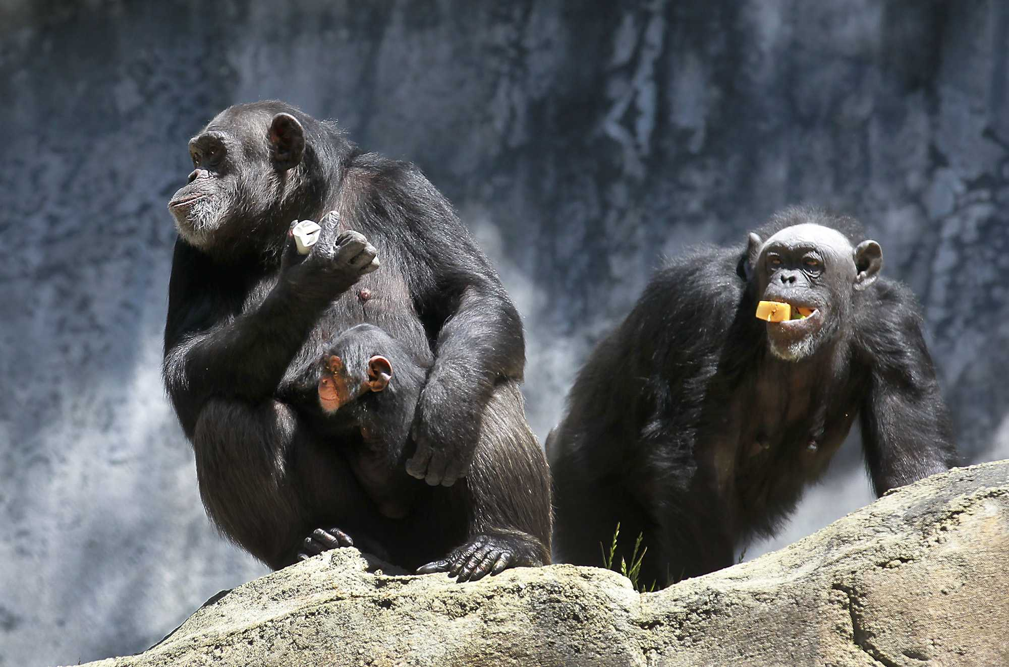Photo shows 3 chimpanzees