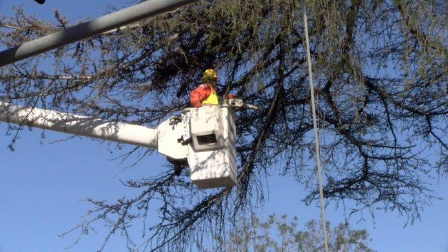 man trims tree branch