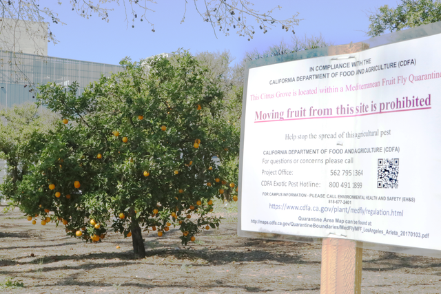 Orange Grove quarantined during fruit fly infestation
