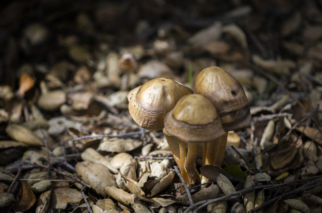 yellow-gray mushrooms surrounded by leaves and twigs