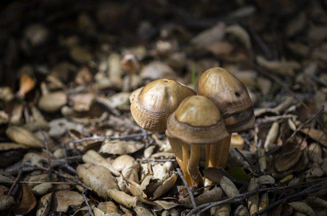 Magic Mushrooms might be decriminalized in California