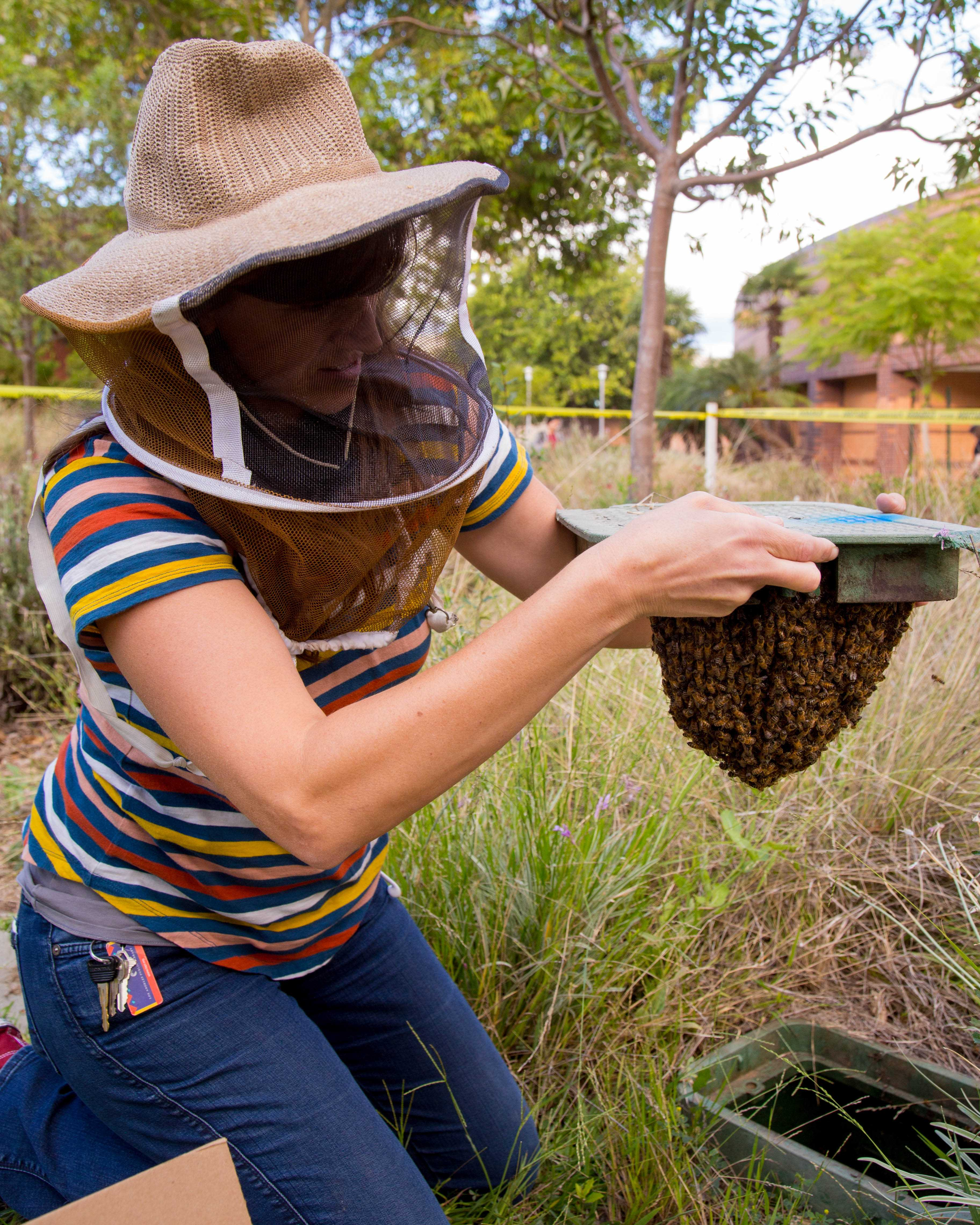 Professor Mackelprang removes a feral beehive from an irrigation water meter on Thursday, Oct. 4, 2018 at CSUN in Northridge, Calif. Mackelprang took the hive home right before they were expected to leave, in an attempt to find a more suitable location. Photo credit: John Hernandez