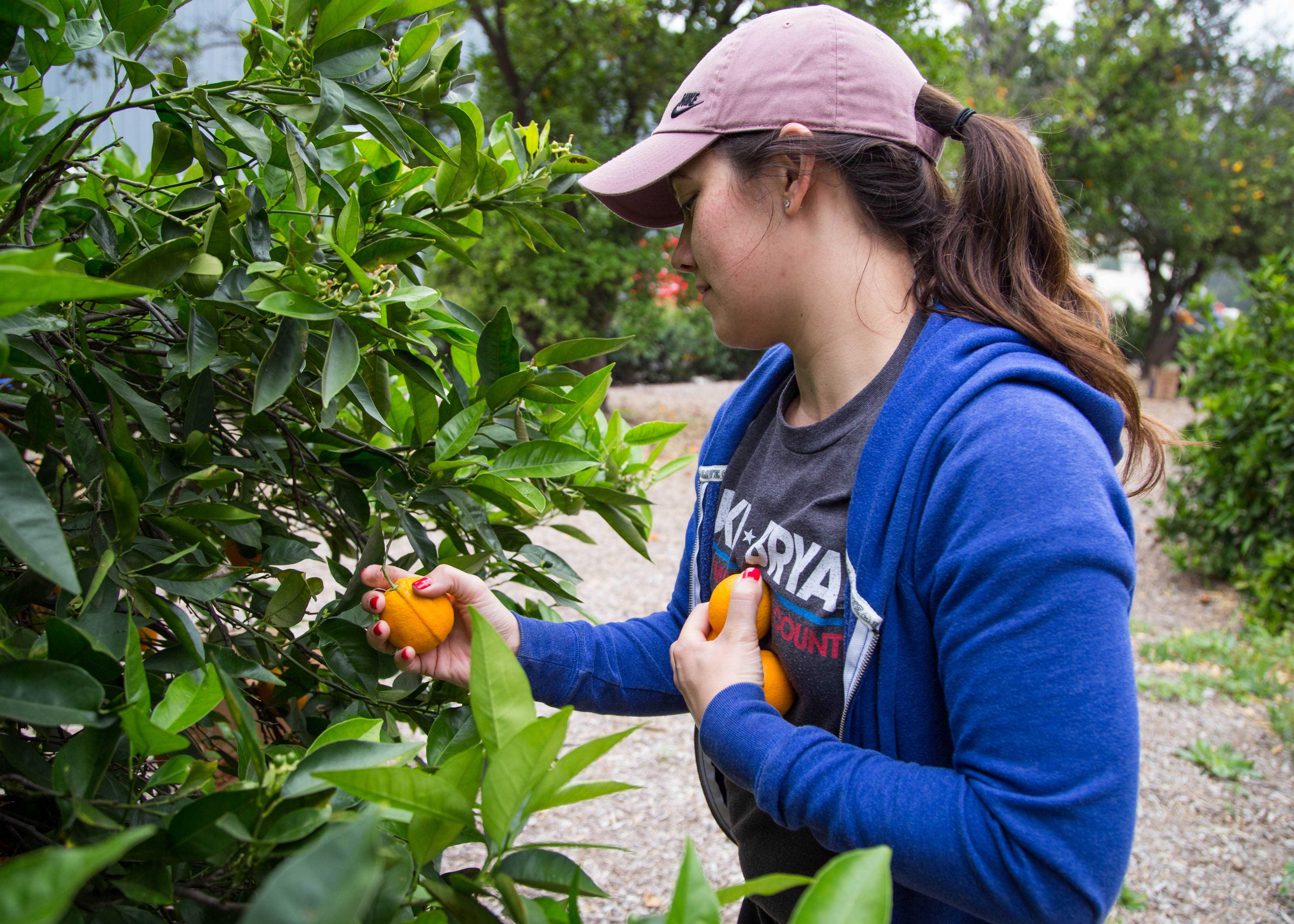 A volunteer picks oranges from the Orange Grove during the CSUN Sustainability Spring Orange Pick on April 28. Photo credit: John Hernandez