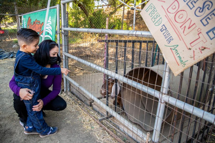 Daniel Uribe and Priscilla Trejo look at the goats at Tapia Brothers Farm in Encino, Calif., on Thursday, Oct. 29, 2020.