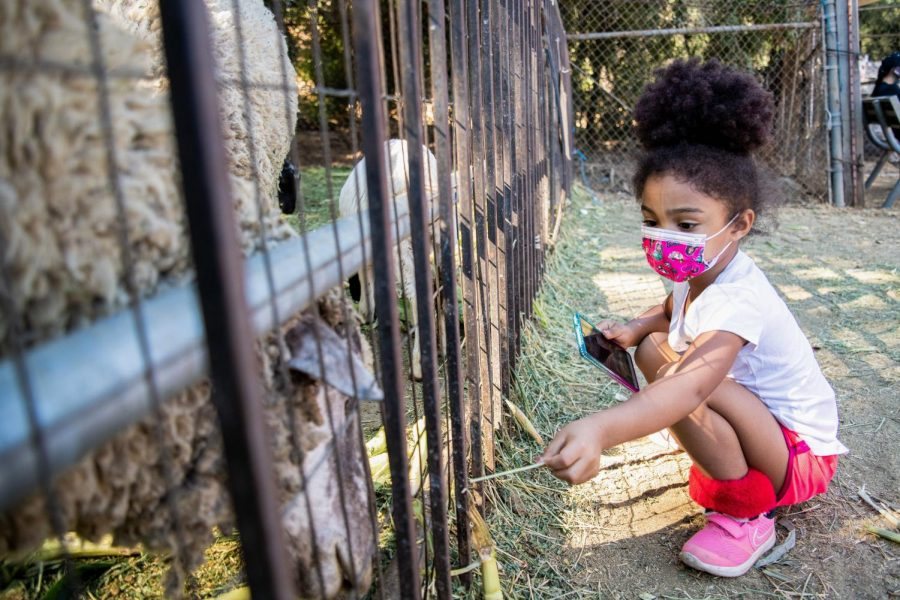 Mila Tokaev feeds a sheep at Tapia Brothers Farm in Encino, Calif., on Thursday, Oct. 29, 2020.