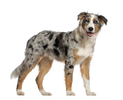 Portrait of Australian Shepherd standing in front of white background