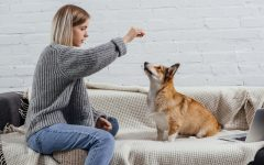 woman giving treat to a corgi dog