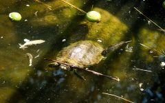 A turtle floats in the murky algea filled water at the CSUN Duck Pond onSeptember 6, 2021 in NORTHRIDGE, Calif.